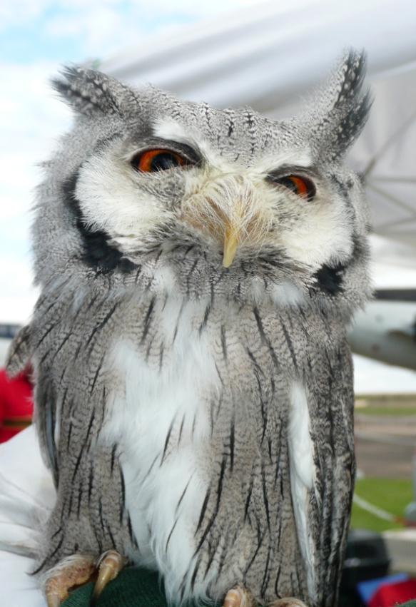 OWL - DUXFORD