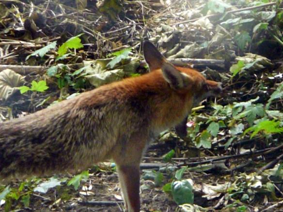 SE4 MOTHER FOX